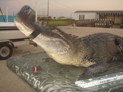 10 Ft Gator Trapped In Myrtle Grove
