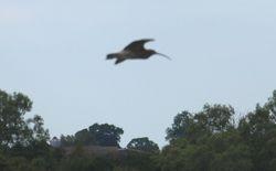 Curlew in flight!