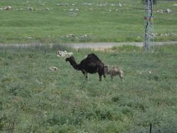 Camels off the Highway