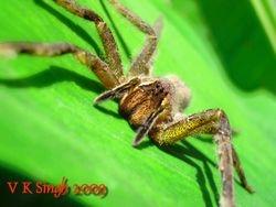 Killer Spider!