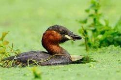 En été - Summer plumage