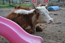 Mini Hereford Cow relaxing