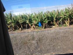 Banana Grove in Israel