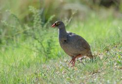 Red-billed Francolin