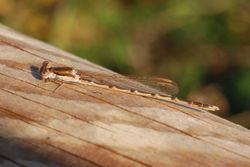 Common Winter Damsel - SYMPECMA FUSCA