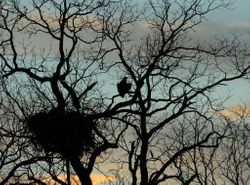 Aigle chauve - Bald eagle