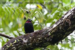 Purpple-throated fruitcrow - male