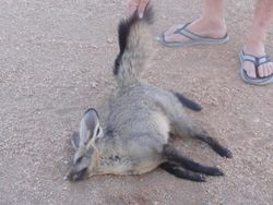 Bob moved this dead Bat Earred Fox off the road