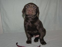 "5 Weeks Old - Pink Collar Female ""Roxy"""
