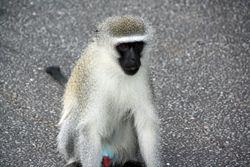 Monkey at Bourke's Luck Potholes