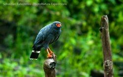 Slate-coloured hawk - Leucopternis schistateus