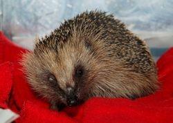 Blind Hedgehog