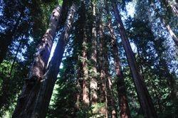 Muir Woods Redwoods 1