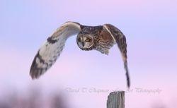 Short Eared Owl Evening Flight