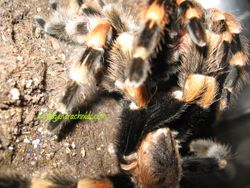 B.smithi breeding 2011 (4)