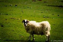 Sceptical Sheep
