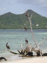 Pelican on Sandy Island