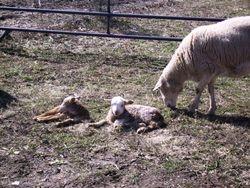2011 newborn lambs