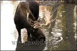 Bull Moose,Alberta