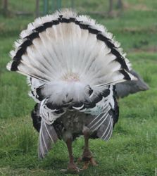 Royal Palm Gobbler rear of tail