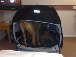 Elvis sharing his new dog bag with Baako...
