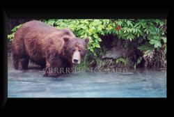 Male Grizzly in the Blue Lagoon