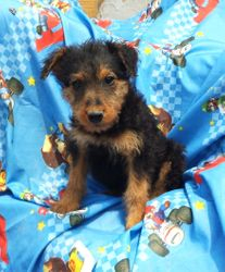 GWEN: $1035 companion, $1495 intact, AKC Airedale Terrier, Giant/Oorang, born 3-5-17 to Gigi and Buddy, 2 year health guarantee, vet puppy check, lifetime microchip, current vaccinations, home raised, more