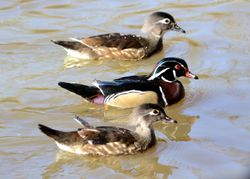 Woodducks at the pond