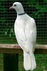 Blond Ivory male