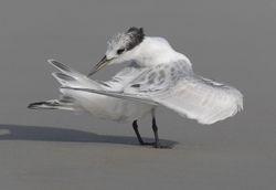 Preening Royal Tern