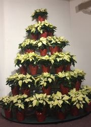 The Beautiful Pointsettia Tree