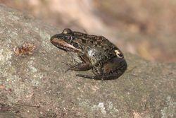 Ra ( Leptodactylus sp. )