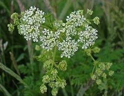 Hemlock flowers****Poisonous