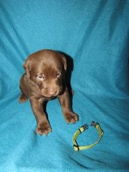 4 Weeks Old - Green Collar Male