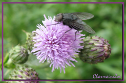Horsefly on a Thistle Flower