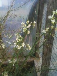 Gai Lon Chinese Broccoli Flowering