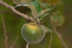 Fruto do lobo ( Solanum sp )
