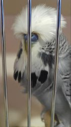 Arizona Budgerigar Society