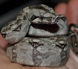 Baby Male Tarahumara Mountain Boa