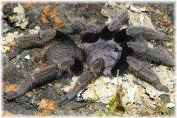 Psednocnemis brachyramosa