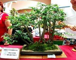 Trifasia tifolia