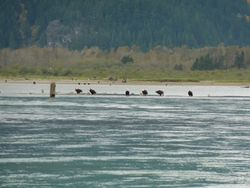 Eagles on the Fraser River
