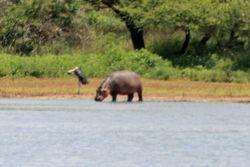 Hippo on land at Kruger National Park