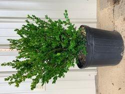 Wintergreen boxwood