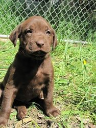 """5 Weeks Old - Yellow Collar Female """"Grace"""""""