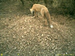 A Most Unwelcome Visitor - Red Fox on Malleefowl Mound