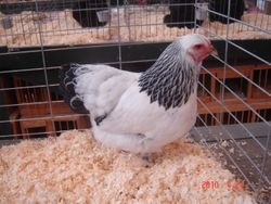Reserve Junior Bird- Light Brahma Pullet- Amber Fulenwider