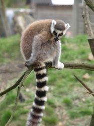 Ring Tailed Lemur