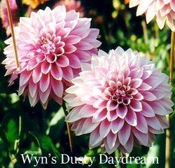 Wyn's Dusty Daydream B FD Lav