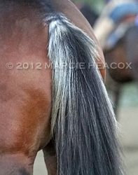 Skunk Tail Horse